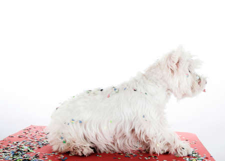 cute westie: West highland white terrier with confetti.