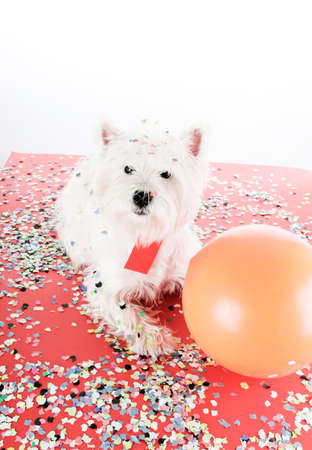 westie: West highland white terrier with confetti and ballon. Stock Photo