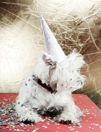 cute westie: West highland white terrier with birthday party hat . Stock Photo