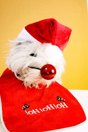 nariz roja: Blanco cachorro con gran nariz roja.  Foto de archivo