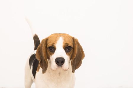 tri  color: Beagle isolated in white