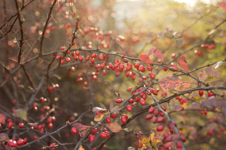 barberry: Barberry in morning sunlight Stock Photo