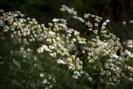 in the open air: Daisies growing in open air
