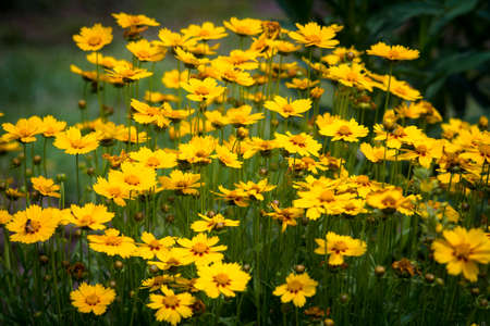 in the open air: Coreopsis flowers growing in the open air Stock Photo