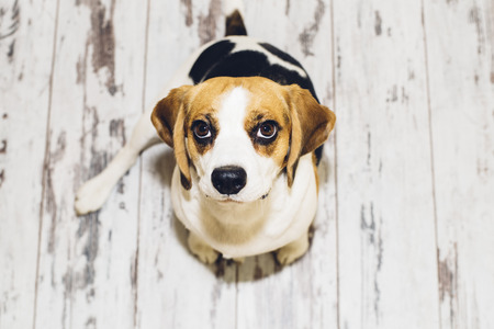 looking into camera: Tricolor beagle dog sitting on floor looking into camera