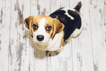 looking into camera: Tricolor beagle dog sitting on vintage-looking floor looking into camera