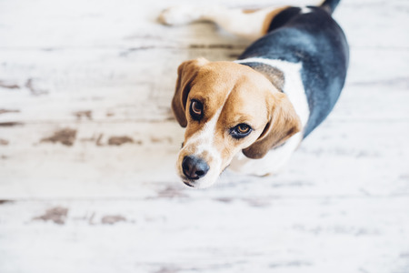 looking into camera: Tricolor beagle dog sitting up and looking into camera Stock Photo