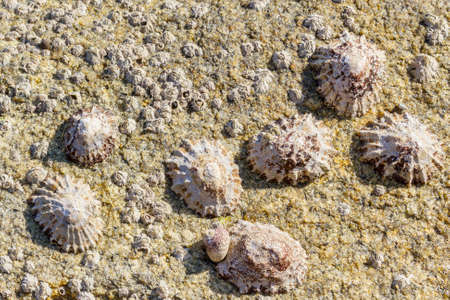 Grouping of european limpets, Patella vulgata, attached to a coastal rock where coexist with barnacles, Chtamalus montagui, and sea snail Monodonta lineata