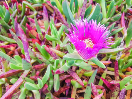 Pink flower of Hottentot-fig, highway ice plant or pigface is a invasive plant of Galicia coastal dunes