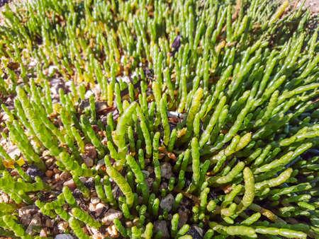 Glasswort, samphire or salicaria, Salicornia europaea, growing on marshes of Galicia, Spain Stock Photo