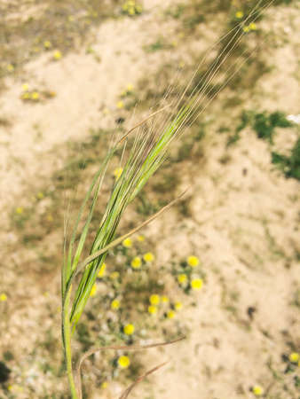 Sand dune grass Vulpia fasciculata growing on the coast of Galicia, Spain Stock Photo