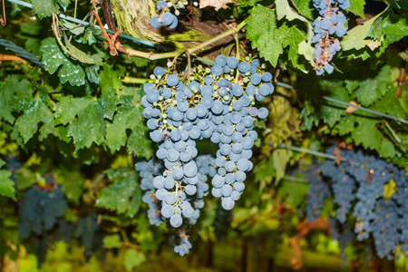 Cluster of black grapes surrounded by green vine leaves Banque d'images - 122321842