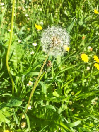 Dandelion receptacle, Taraxacum officinale