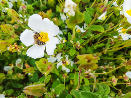 European bee, Apis mellifera, over a rock-rose flower Cistus salvifolius