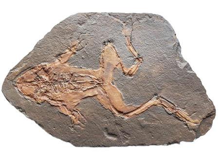 Miocene fossil frog Rana pueyoi