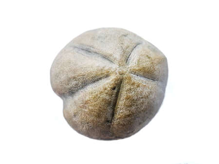 Heteraster oblongus, echinoid echinoderm fossil of the Cretaceous period Imagens