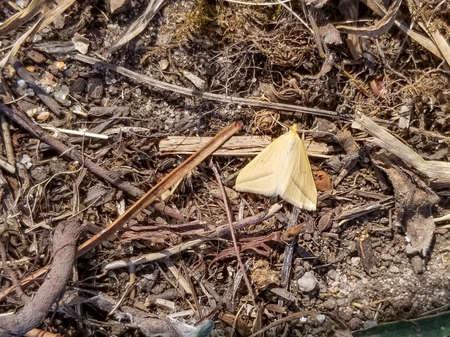 estal moth, Rhodometra sacraria, in Galicia, Spain Banco de Imagens
