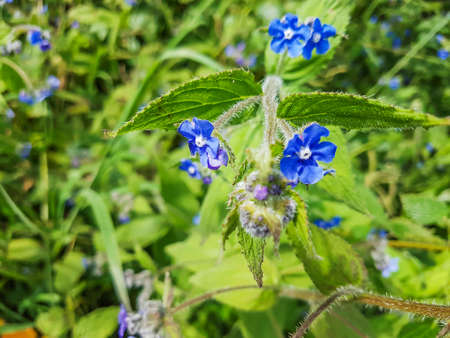Green alkanet or evergreen bugloss, Pentaglottis sempervirens, growing in Galicia, Spain