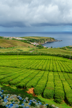 Tea plantation on the north coast of Sao Miguel Island in the Azores. Rural landscape with tea growing farm. Beautiful hydrangeas in the foreground and the sea in the background. 版權商用圖片 - 122978582