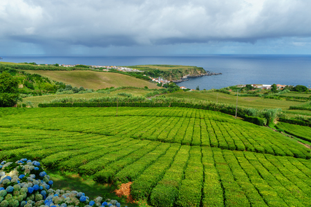 Tea plantation on the north coast of Sao Miguel Island in the Azores. Rural landscape with tea growing farm. Beautiful hydrangeas in the foreground and the sea in the background.
