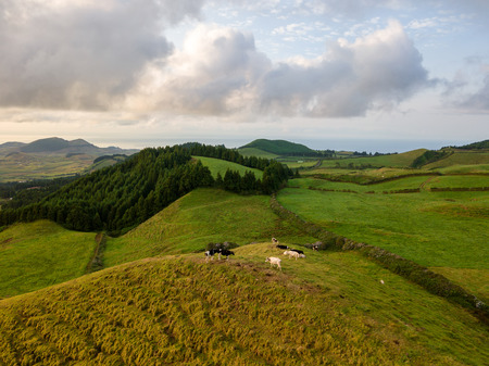 Drone view of typical azores landscape coastal with cows in a rural aerial view. Bird eye view, aerial panoramic point of view. Portugal tscenic destination.