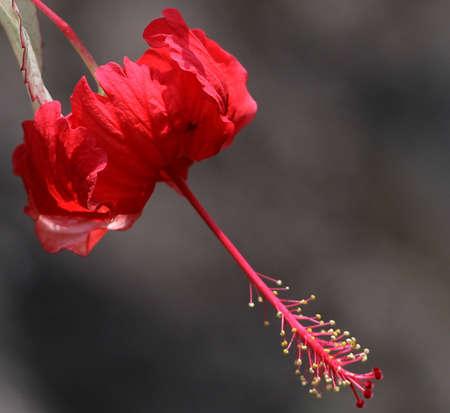 subtropics: Hibiscus rosa-sinensis, conosciuta colloquialmente come l'ibisco cinese, la Cina si alz� e fiori di scarpe, � un arbusto sempreverde originario dell'Asia orientale. E 'ampiamente coltivato come pianta ornamentale in tutto il tropicali e subtropicali. I fiori sono grandi, ge Archivio Fotografico