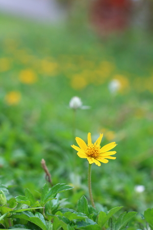 Wild daisy flowers growing on green meadow photo