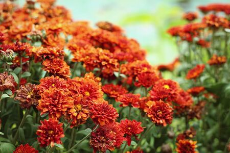 mums: A large bunch of pretty orange Mums Stock Photo