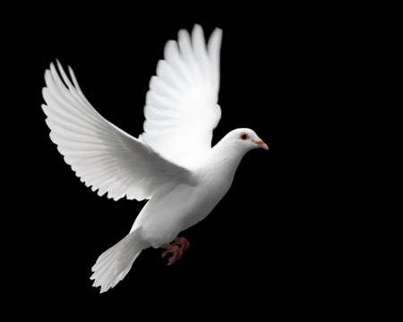 Blanca Paloma en Vuelo 1. Una paloma blanca en vuelo libre aislados sobre un fondo negro.