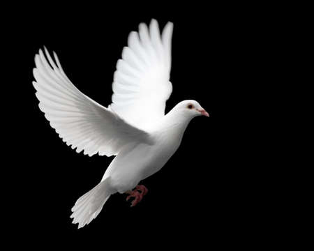 white dove: White Dove in Flight 1. A free flying white dove isolated on a black background. Stock Photo