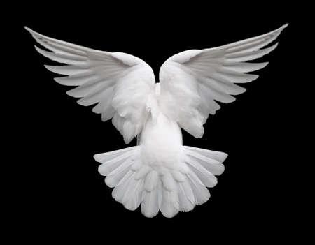 pigeons: White Dove dans le flight 2. Vue de l'arri�re d'un avion isol� colombe blanche sur un fond noir.