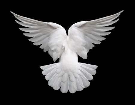 White Dove in Flight 2. Back view of a free flying white dove isolated on a black background.
