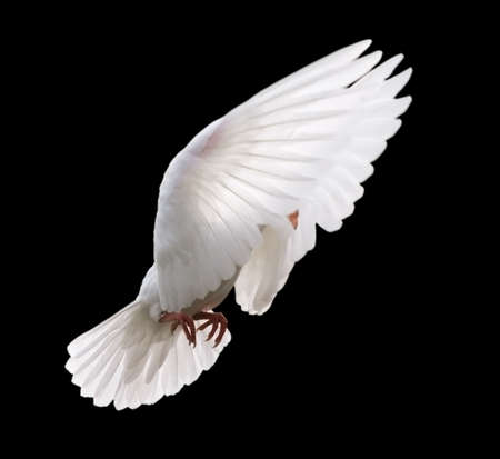 White Dove in Flight 4. A free flying white dove in mid stroke with its wings up around its head. Isolated on a black background. Banco de Imagens