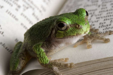 educated: Educated Frog. A gray tree frog catching up on some reading. Stock Photo