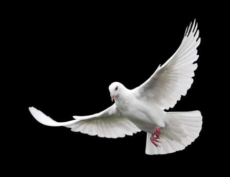 화이트 비행 6 비둘기. 검은 배경에 고립 된 자유 비행 흰 비둘기.
