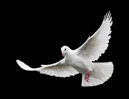 White Dove en el vuelo 6. Una paloma blanca en vuelo libre aislados sobre un fondo negro.