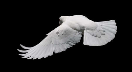 White Dove in Flight 8. A free flying white dove isolated on a black background.