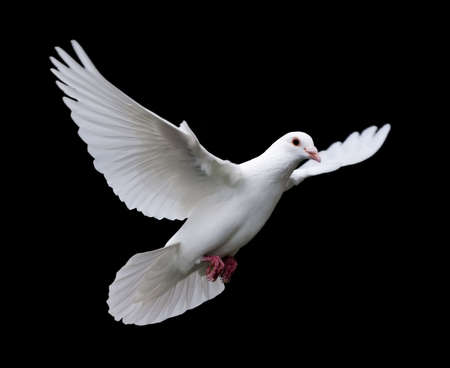 White Dove in Flight 7. A free flying white dove isolated on a black background.