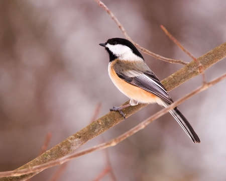 perched: Blackcap Chickadee. A blackcap chickadee perched on a tree branch.