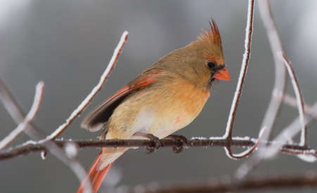 shiver: Burrrr…it is cold! A female cardinal shivering on a snow covered tree branch.
