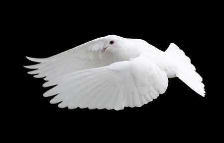 White Dove in Flight 12 Banco de Imagens
