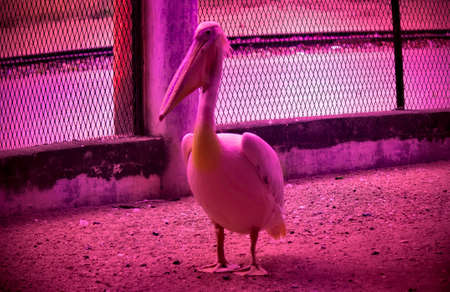 Great white pelican, a species of Pelicans captured in a zoo in India
