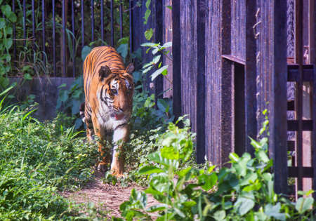 A fierce Indian Tiger walks next to the iron cage in North India
