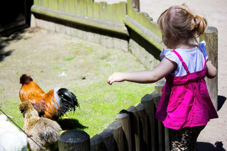 A rear view of little girl calling chicken and hen behind the fence 版權商用圖片