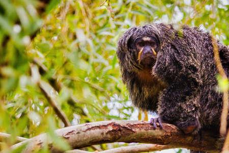 Black lion tamarin monkey captured in Spain