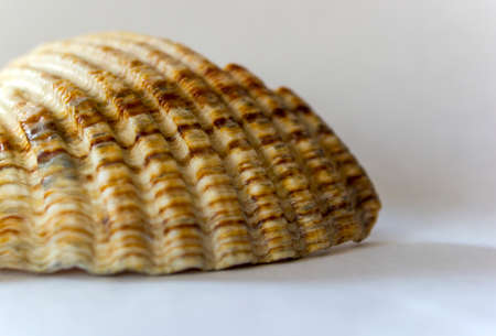A macro shot of a conch shell with naturally formed pattern on an isolated white background.