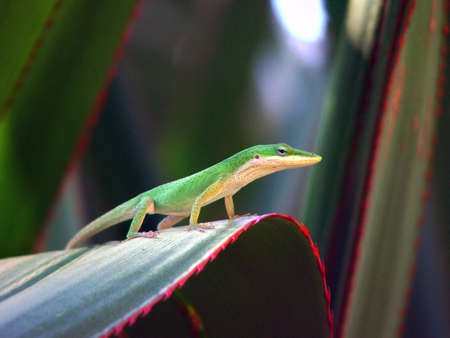 green anole surveying his domain Imagens