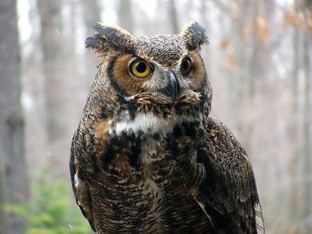 great horned owl Stock fotó
