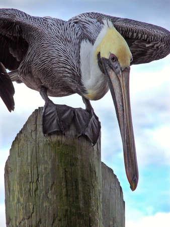 pelican Banco de Imagens - 364801