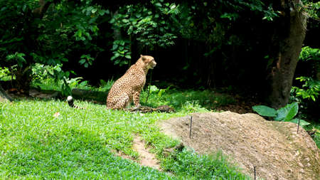 leopard (cheetah) is sitting and looking at zoo(Park)